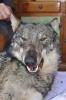 Malpensa - Il lupo trovato alle porte di Malpensa