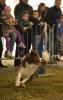 Inveruno - Esibizione di agility dog
