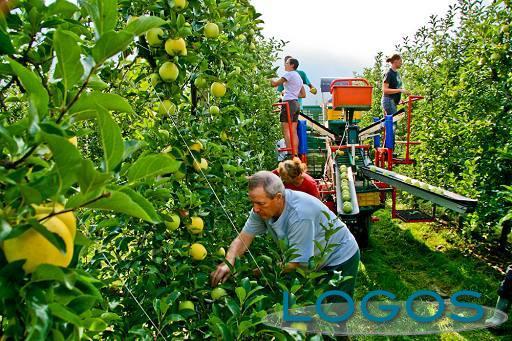 Attualità - Raccolta delle mele (Foto internet)