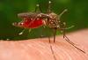 Generica - Zanzara West Nile (da internet)