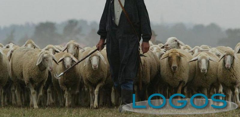 Attualità - Un pastore con il gregge