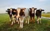 Attualità - Mucche (Foto internet)