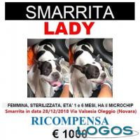 Territorio - Smarrita Lady, femmine di bouledogue francese