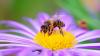 Generica - Ape su un fiore (da internet)