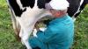 Attualità - Mucche: meno latte a causa del caldo (Foto internet)