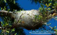 Territorio - La processionaria del pino