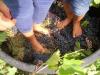 Attualità - Pigiatura dell'uva (Foto internet)