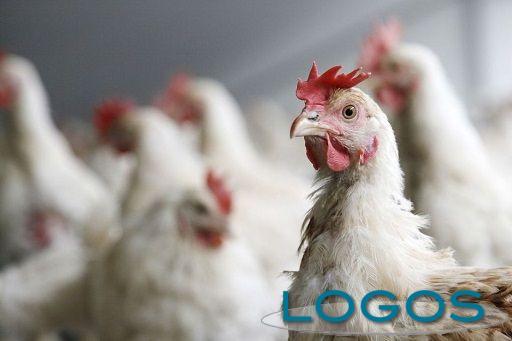 Generica - Avicoltura (foto internet)