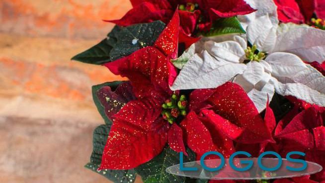 Attualità - Stella di Natale (Foto internet)