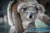 Ambiente - Il WWF e la campagna per i koala