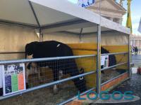 Inchieste - Gli animali della fattoria lombarda