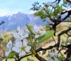Territorio - Alberto da frutto in fiore