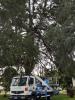 Buscate - Il cedro storico cittadino
