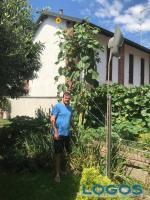 Bernate Ticino - Girasoli da record in paese
