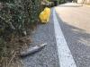 Nosate - I pesci morti trovati lungo la strada