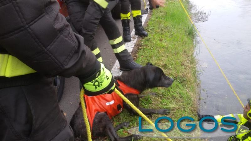 Magenta - Cane salvato nel Naviglio