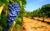 Attualità - Aziende vitivinicole (Foto internet)