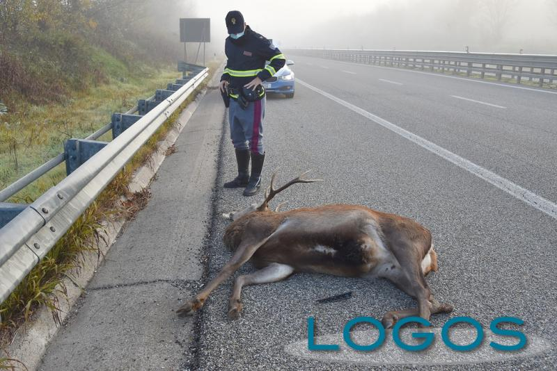 Vanzaghello - Cervo investito sulla Boffalora Malpensa