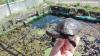 Animali - La tartaruga Emys