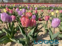 Arese - Tulipani Italiani 2021