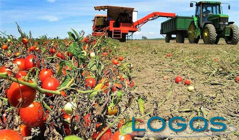 Ambiente - Raccolta pomodori (Foto internet)