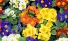 Generica - Primule in vaso (da internet)